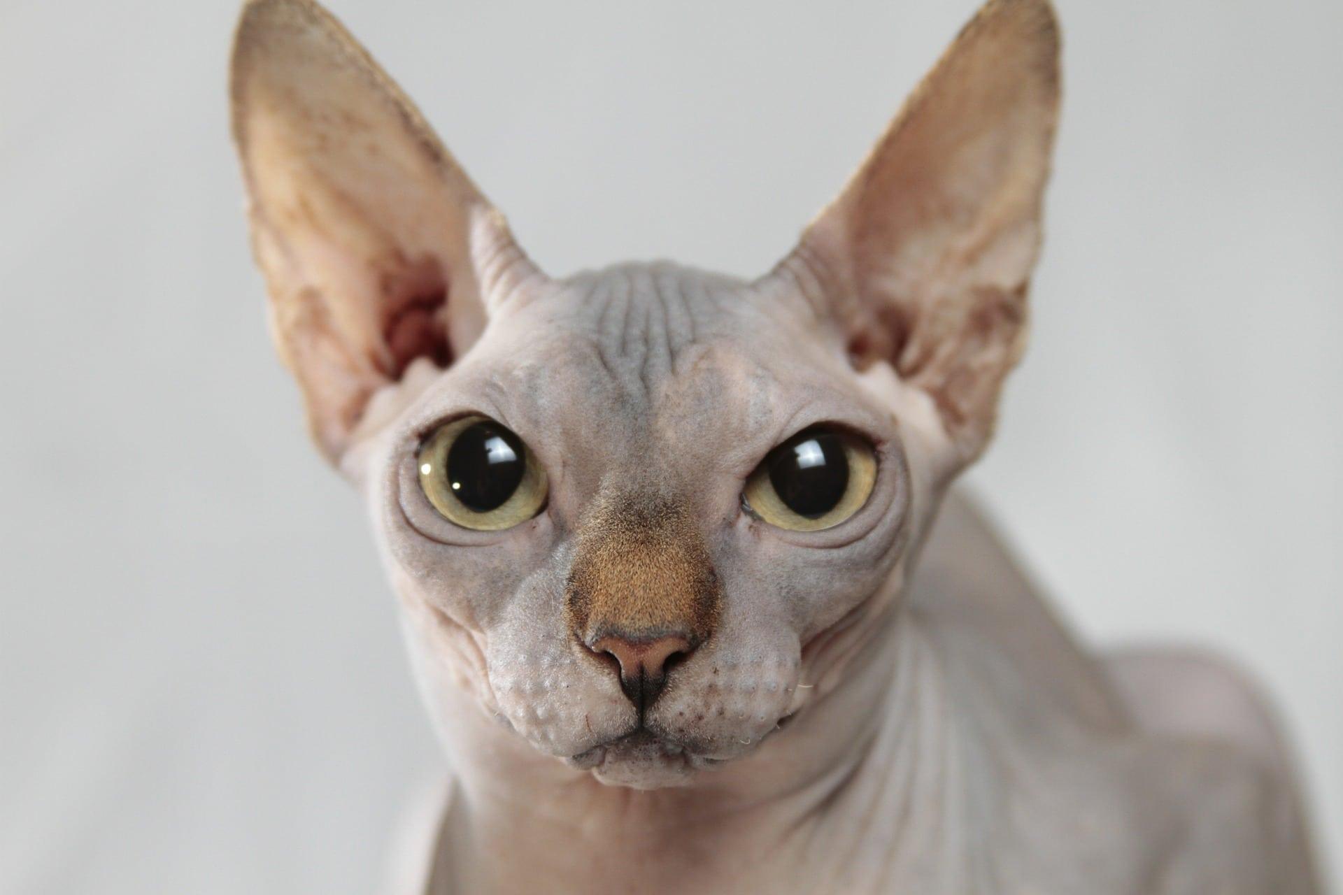 para amantes de los gatos Egipcios
