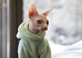 gato ropa Sphynx